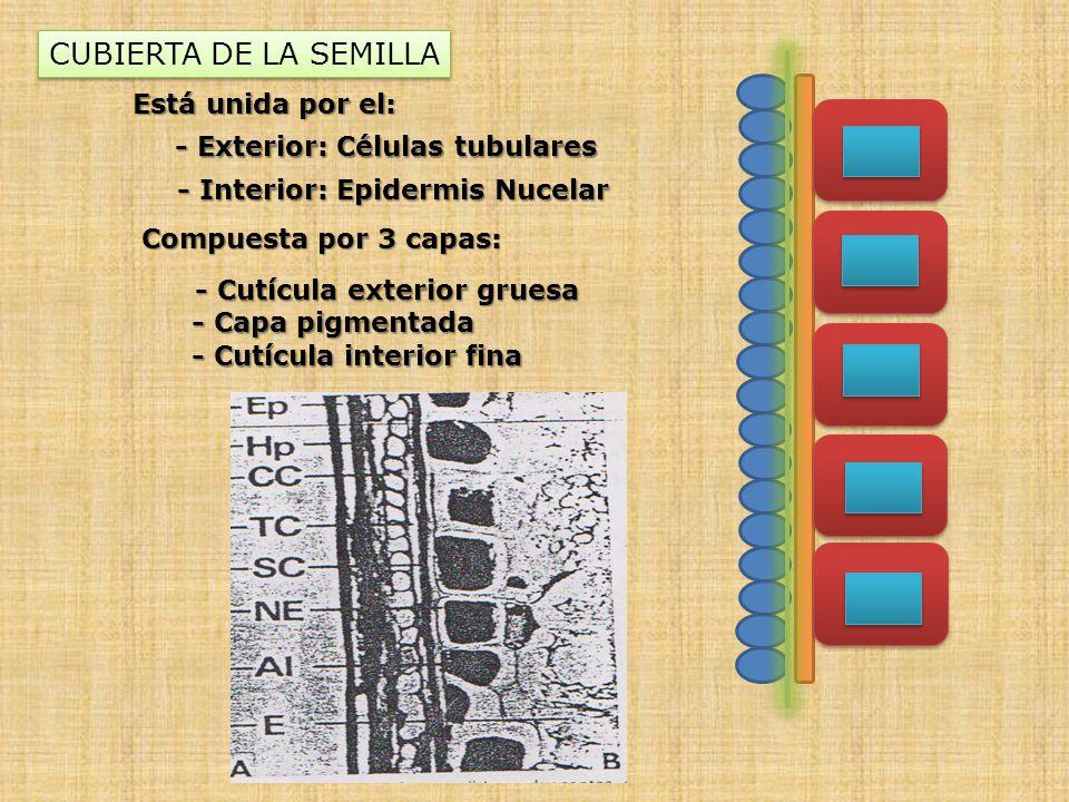 CUBIERTA DE LA SEMILLA Está unida por el: