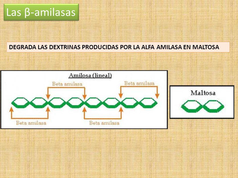 Las β-amilasas DEGRADA LAS DEXTRINAS PRODUCIDAS POR LA ALFA AMILASA EN MALTOSA