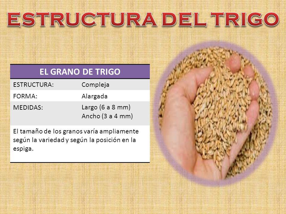 ESTRUCTURA DEL TRIGO EL GRANO DE TRIGO ESTRUCTURA: Compleja FORMA: