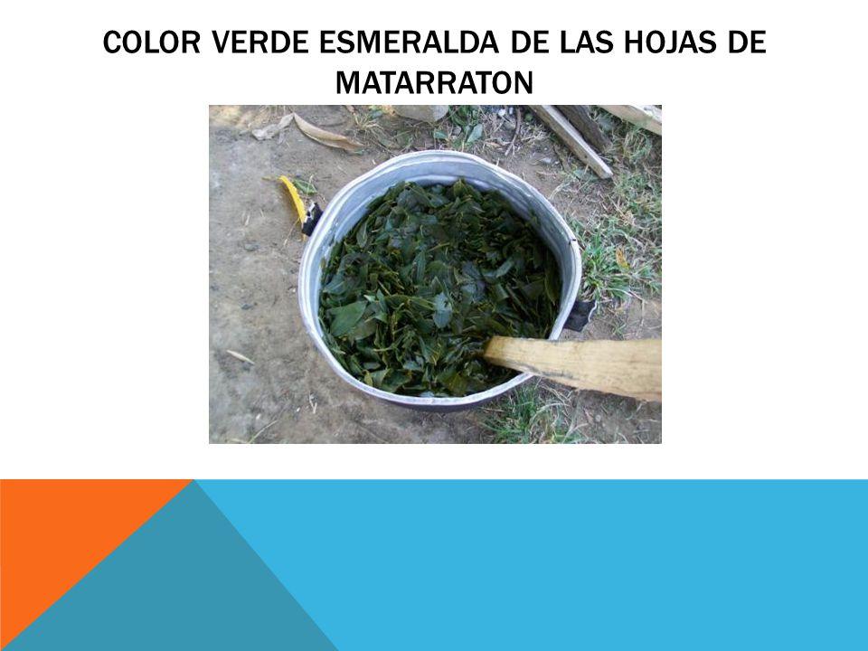 Color verde esmeralda de las hojas de matarraton