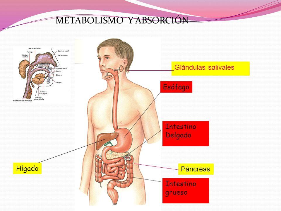 METABOLISMO Y ABSORCIÓN