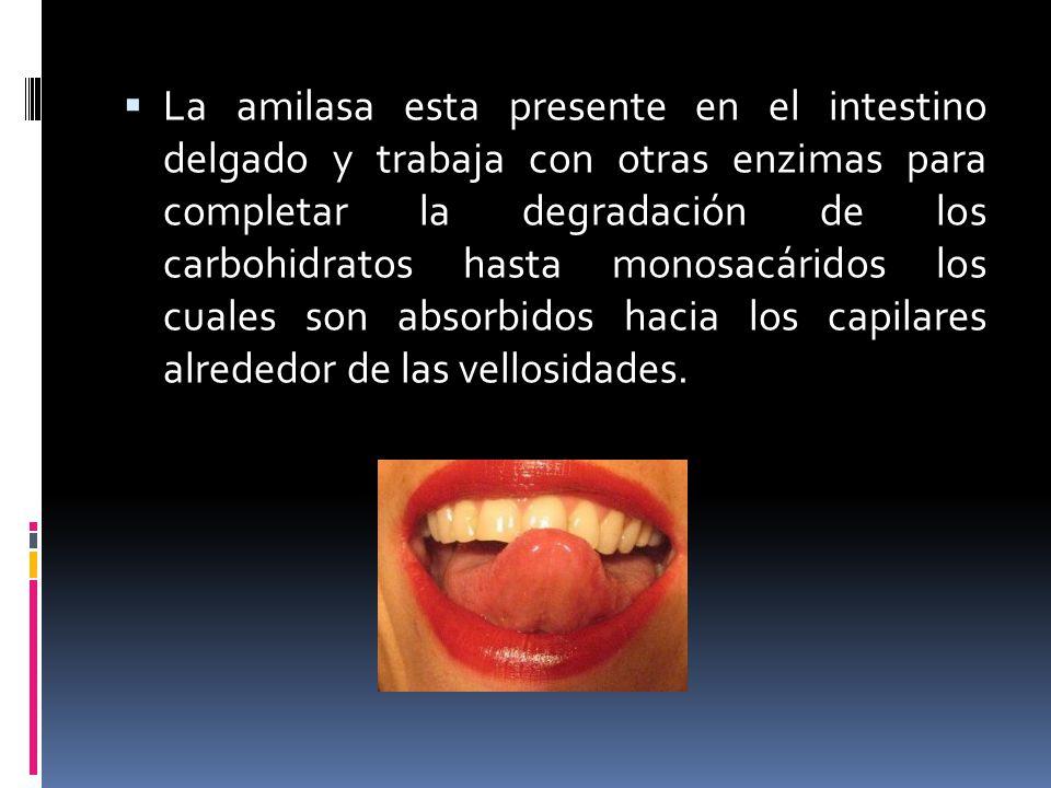 La amilasa esta presente en el intestino delgado y trabaja con otras enzimas para completar la degradación de los carbohidratos hasta monosacáridos los cuales son absorbidos hacia los capilares alrededor de las vellosidades.