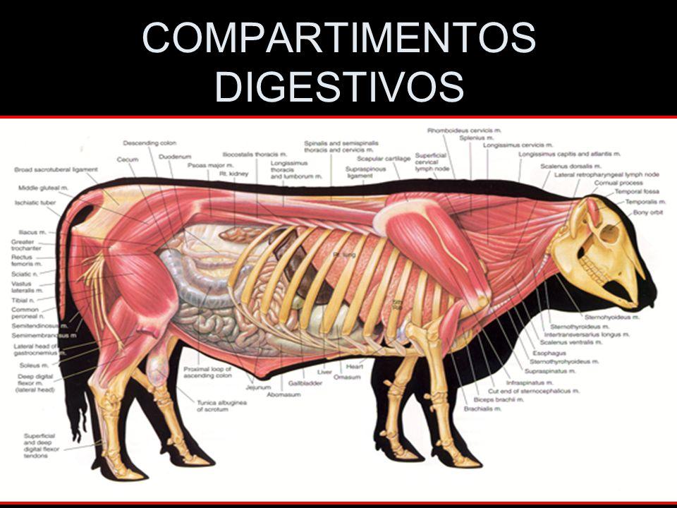 COMPARTIMENTOS DIGESTIVOS