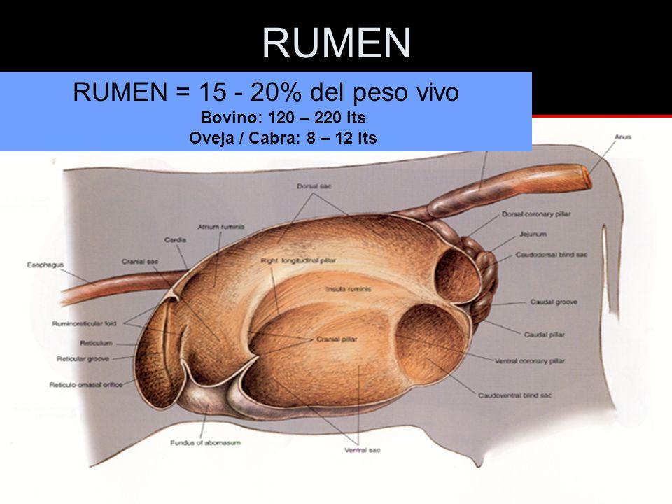 RUMEN RUMEN = 15 - 20% del peso vivo Bovino: 120 – 220 lts