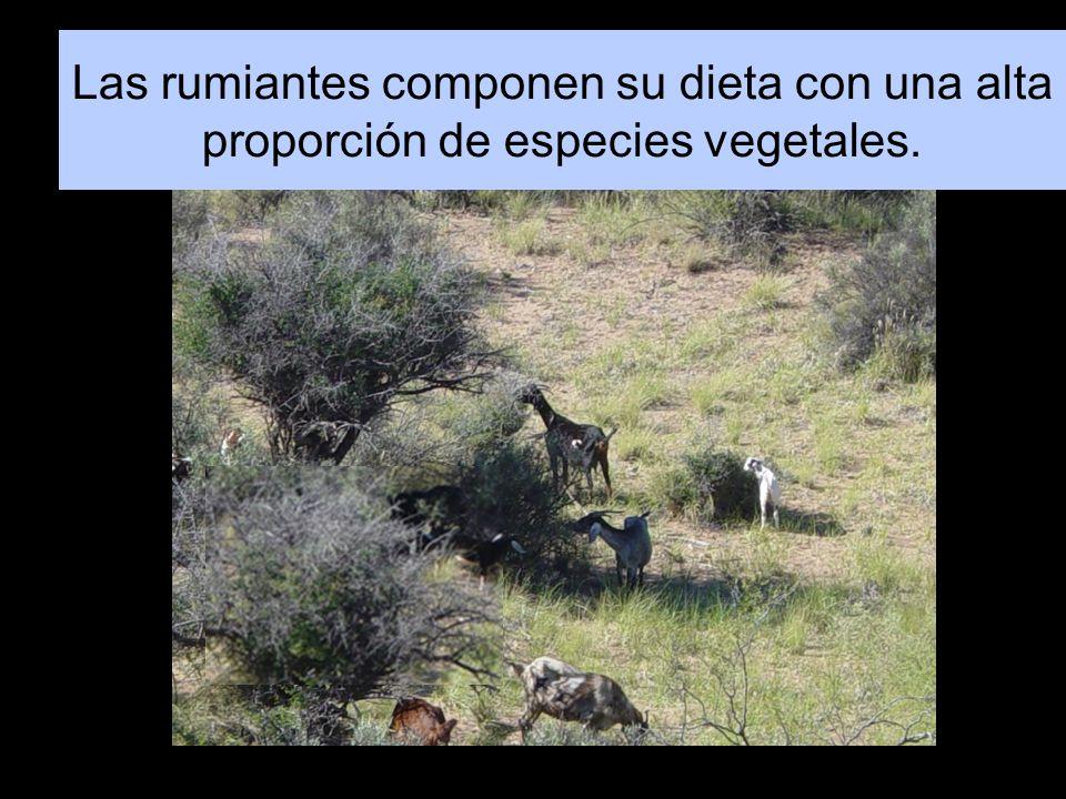 Las rumiantes componen su dieta con una alta proporción de especies vegetales.