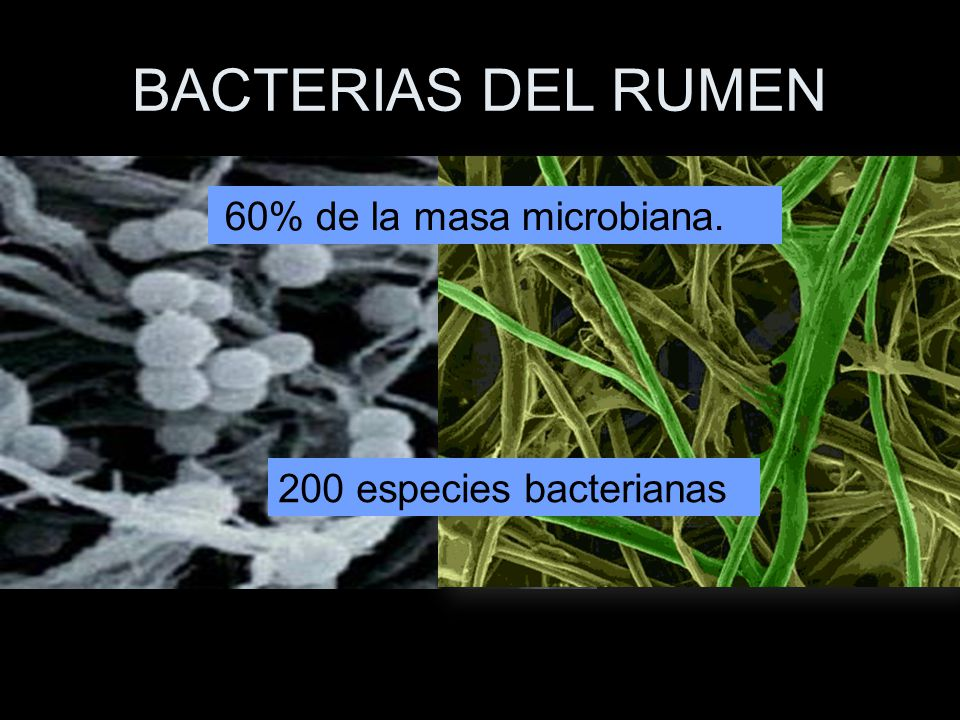 BACTERIAS DEL RUMEN 60% de la masa microbiana.