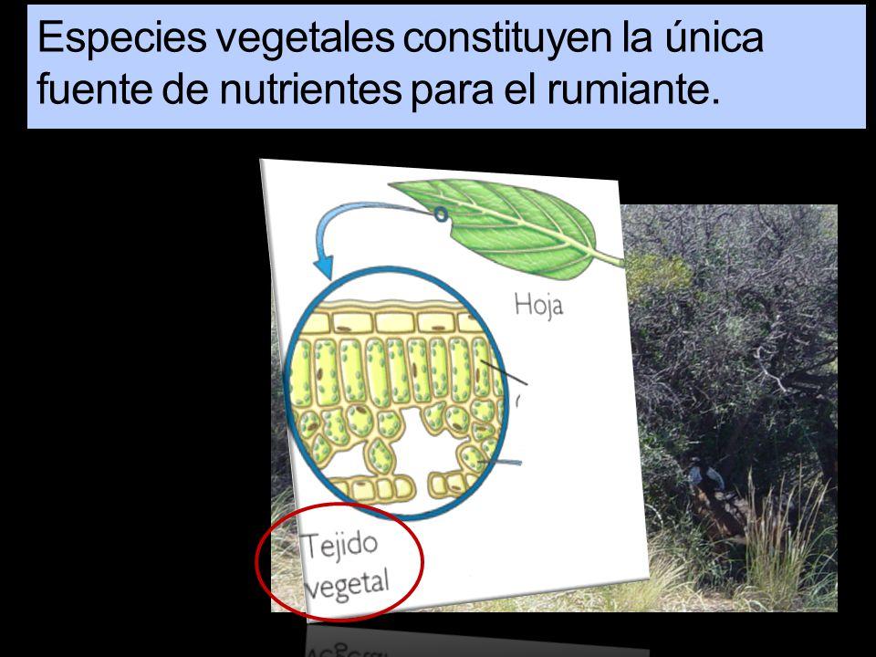 Especies vegetales constituyen la única fuente de nutrientes para el rumiante.