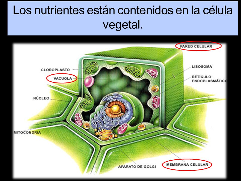 Los nutrientes están contenidos en la célula vegetal.