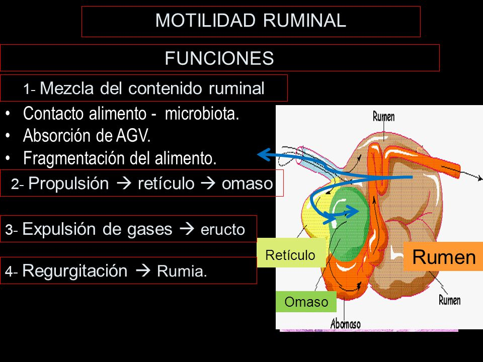 AGV Rumen MOTILIDAD RUMINAL FUNCIONES Contacto alimento - microbiota.
