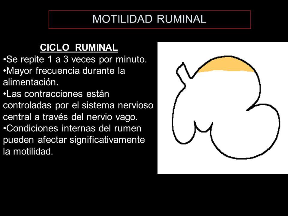 MOTILIDAD RUMINAL CICLO RUMINAL Se repite 1 a 3 veces por minuto.