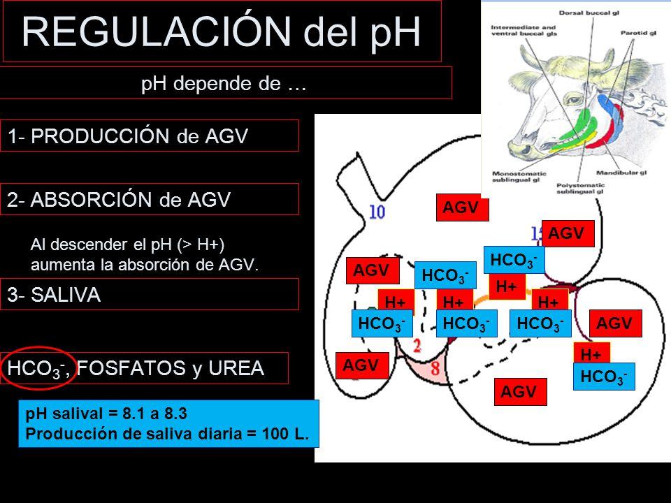 REGULACIÓN del pH pH depende de … 1- PRODUCCIÓN de AGV
