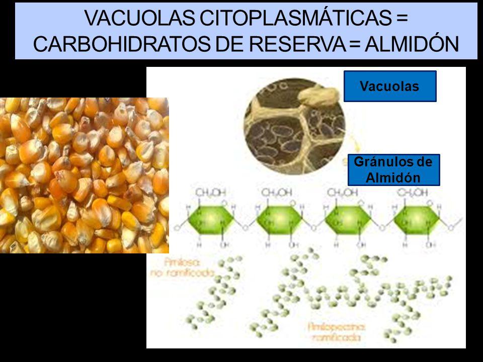 VACUOLAS CITOPLASMÁTICAS = CARBOHIDRATOS DE RESERVA = ALMIDÓN
