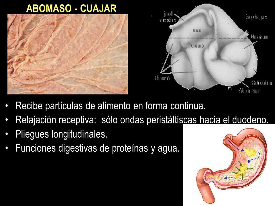 ABOMASO - CUAJAR Recibe partículas de alimento en forma continua. Relajación receptiva: sólo ondas peristáltiscas hacia el duodeno.