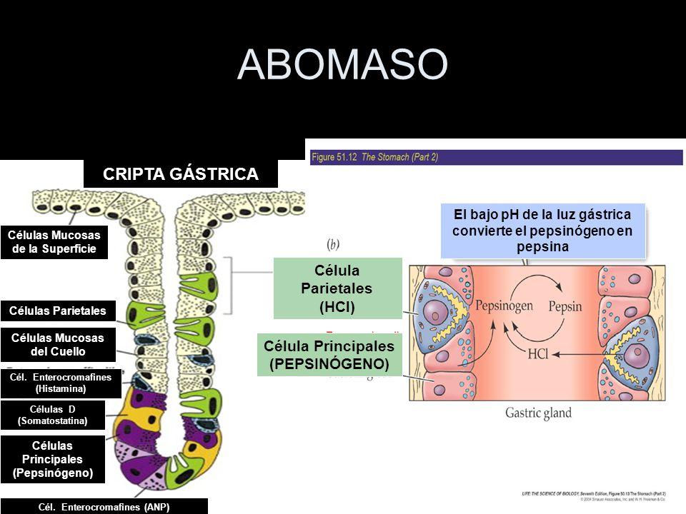 ABOMASO CRIPTA GÁSTRICA HCO3- Célula Parietales (HCl) H+