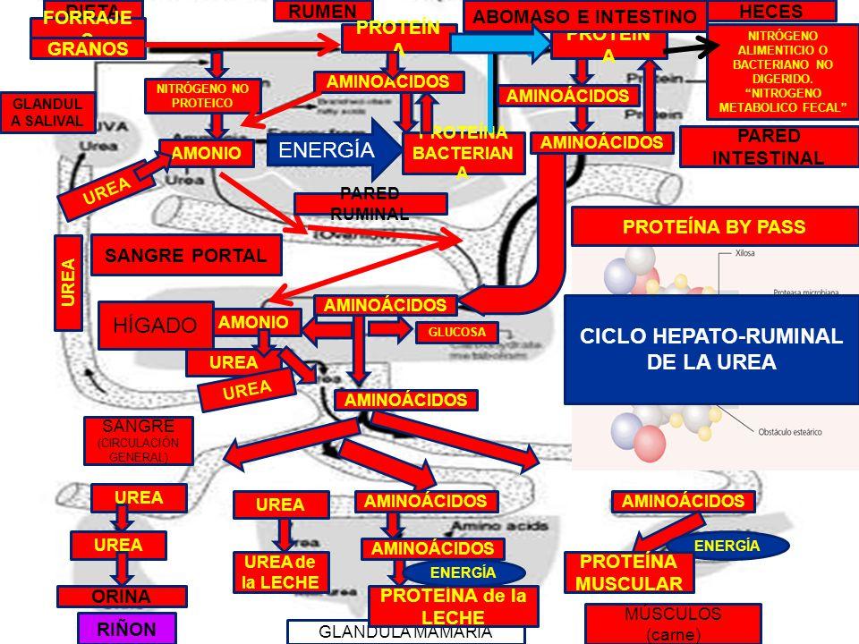 CICLO HEPATO-RUMINAL DE LA UREA