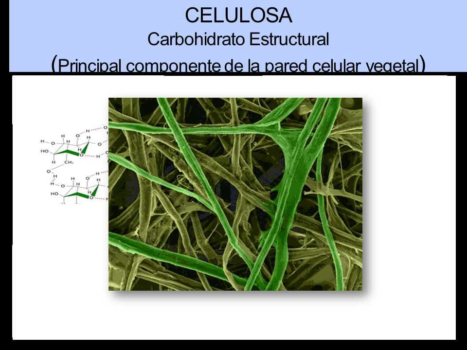 (Principal componente de la pared celular vegetal)