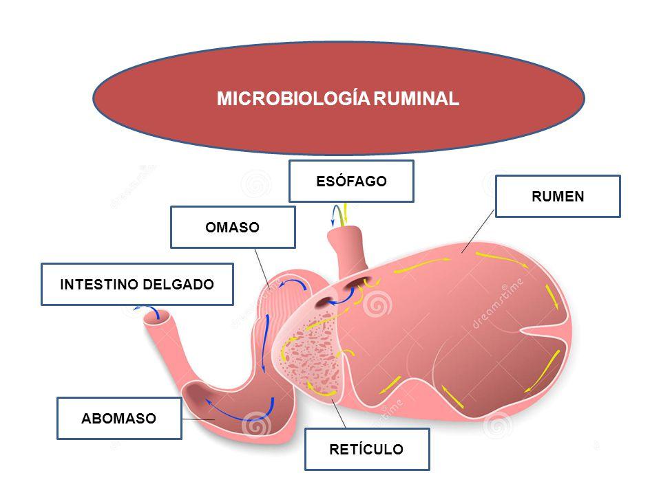 MICROBIOLOGÍA RUMINAL