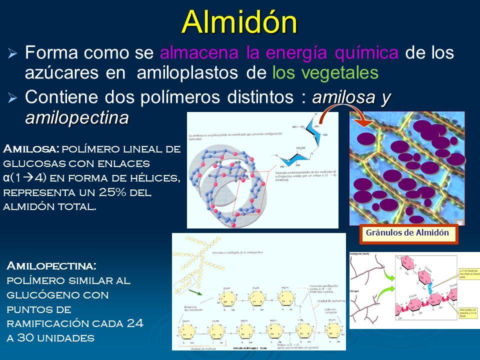 Almidón Forma como se almacena la energía química de los azúcares en amiloplastos de los vegetales.