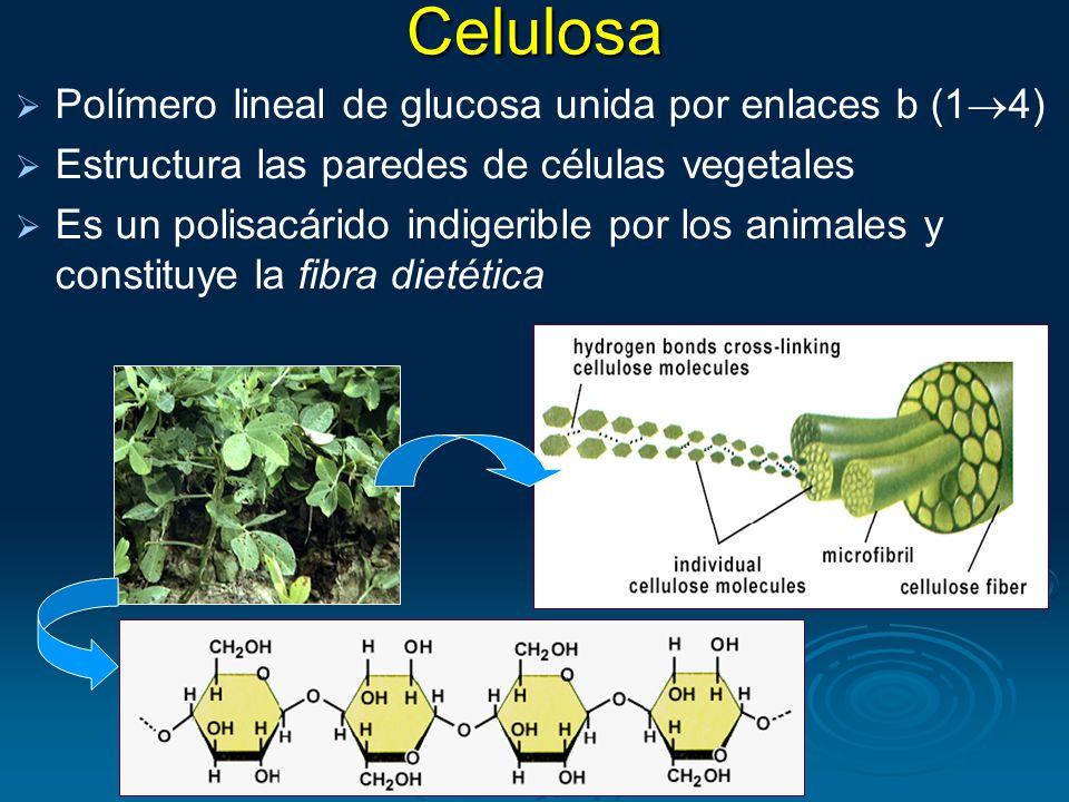 Celulosa Polímero lineal de glucosa unida por enlaces b (14)