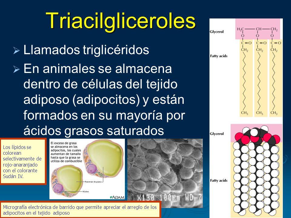 Triacilgliceroles Llamados triglicéridos