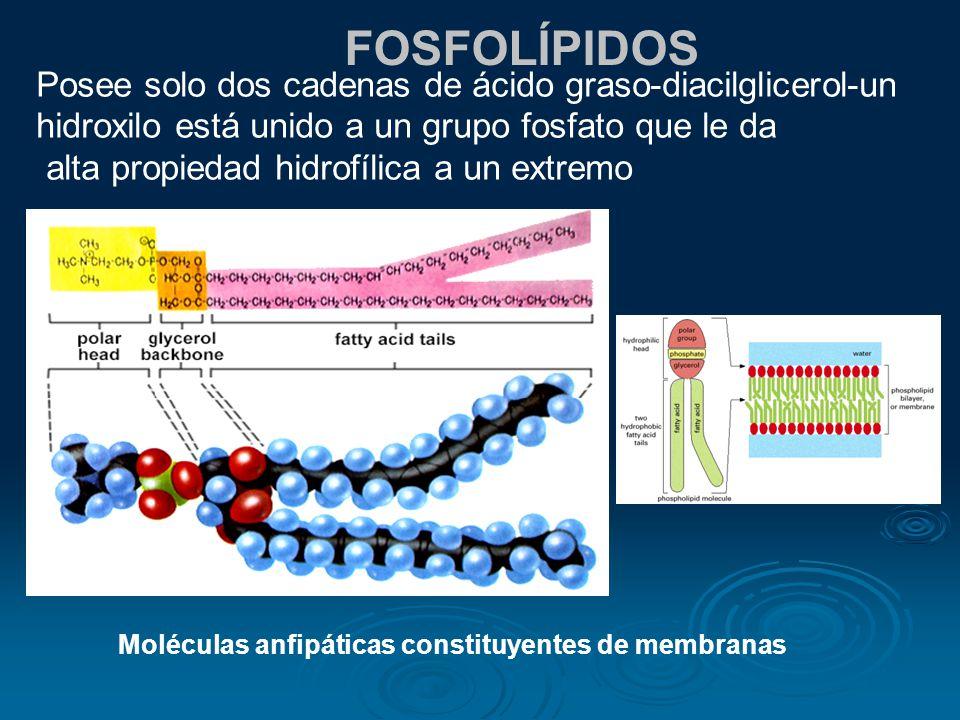FOSFOLÍPIDOS Posee solo dos cadenas de ácido graso-diacilglicerol-un hidroxilo está unido a un grupo fosfato que le da.