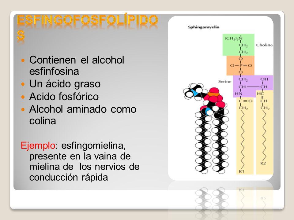 Esfingofosfolípidos Contienen el alcohol esfinfosina Un ácido graso
