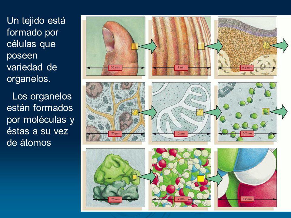 Un tejido está formado por células que poseen variedad de organelos.
