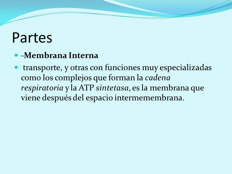 Partes -Membrana Interna
