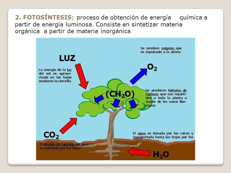 2. FOTOSÍNTESIS: proceso de obtención de energía química a partir de energía luminosa.