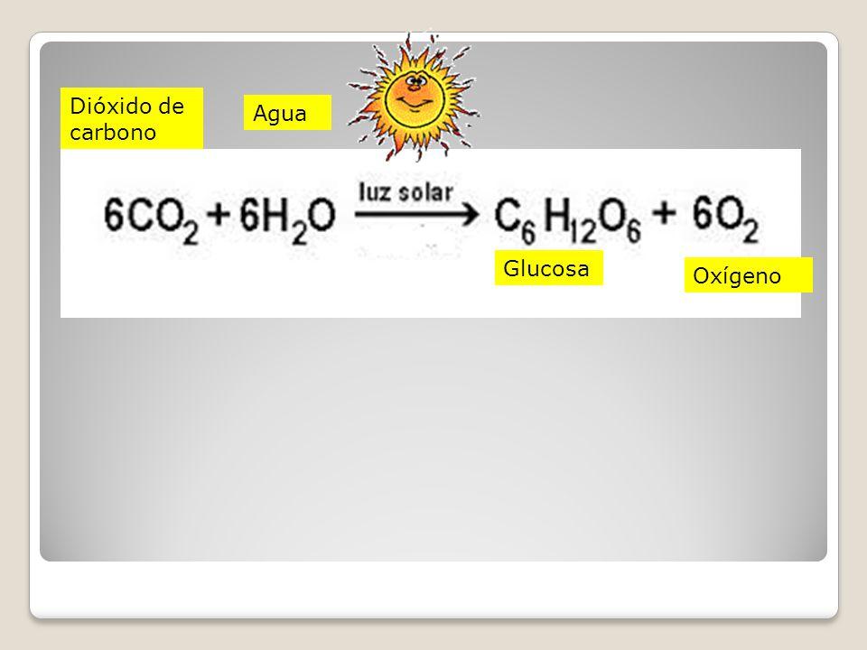Dióxido de carbono Agua Glucosa Oxígeno