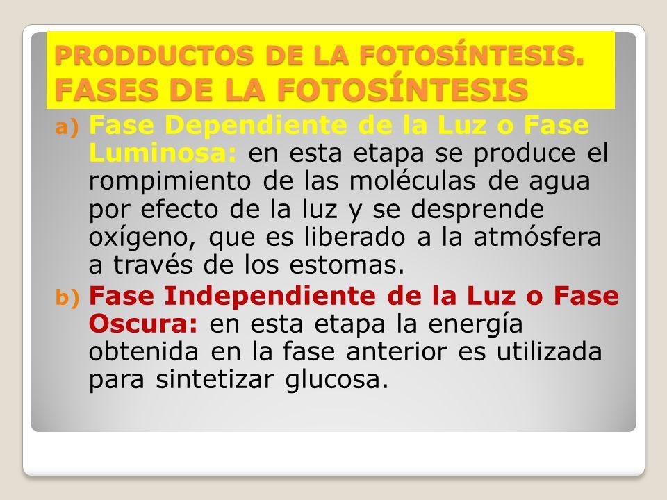 PRODDUCTOS DE LA FOTOSÍNTESIS. FASES DE LA FOTOSÍNTESIS