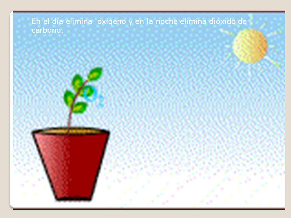 En el día elimina oxígeno y en la noche elimina dióxido de carbono.