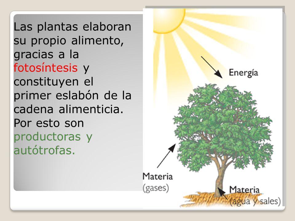 Las plantas elaboran su propio alimento, gracias a la fotosíntesis y constituyen el primer eslabón de la cadena alimenticia.