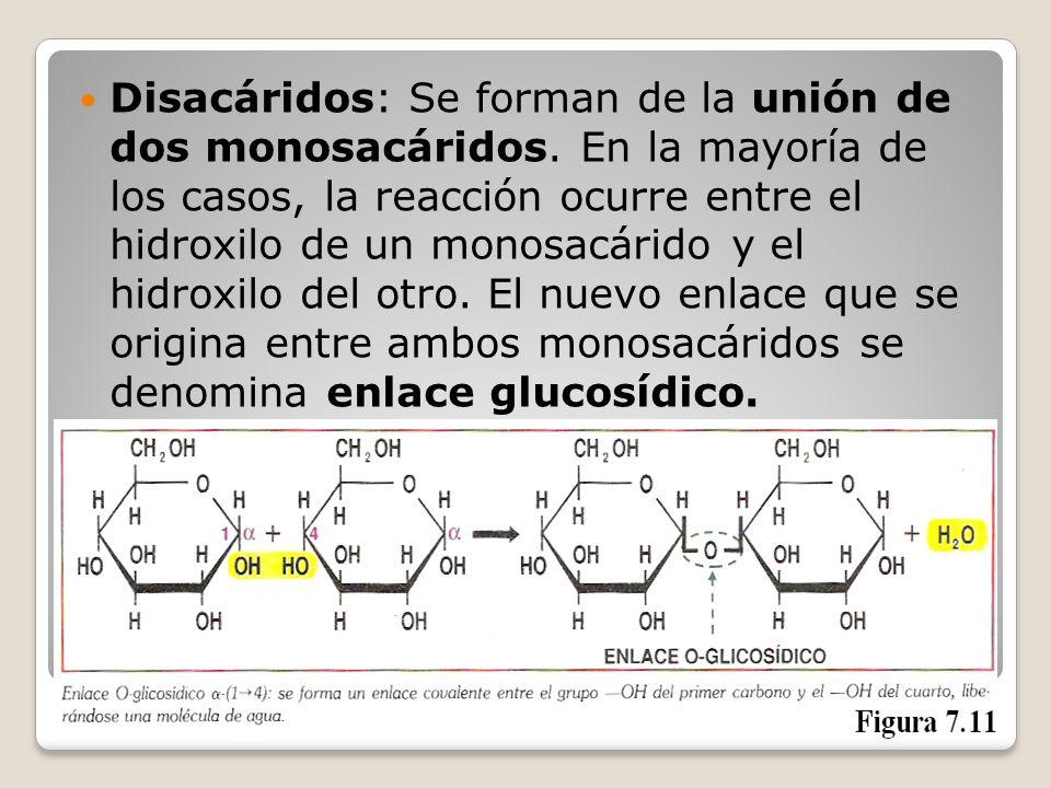Disacáridos: Se forman de la unión de dos monosacáridos