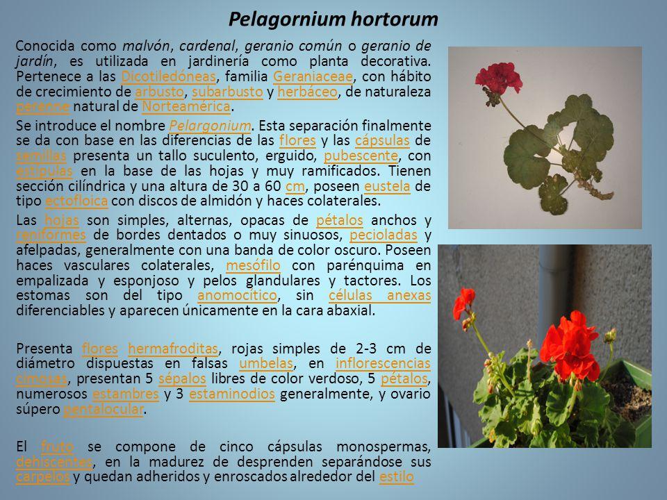 Pelagornium hortorum