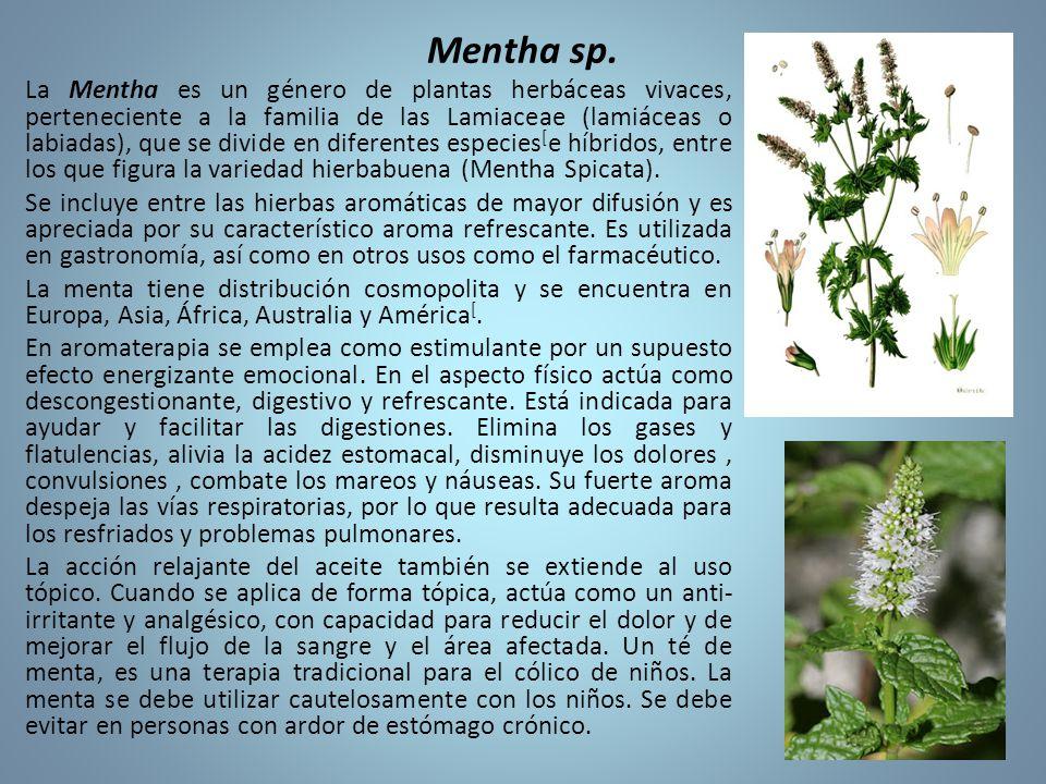 Mentha sp.