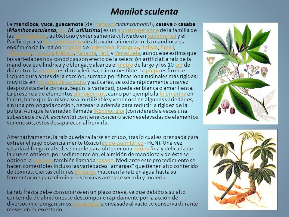 Manilot sculenta