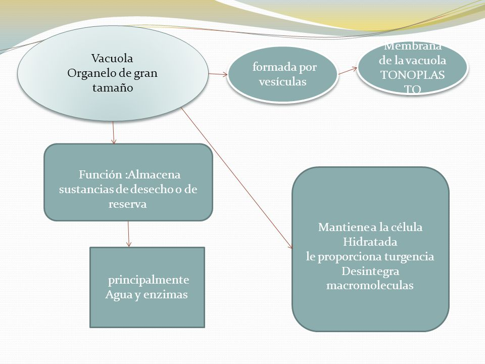 Organelo de gran tamaño Membrana de la vacuola TONOPLASTO