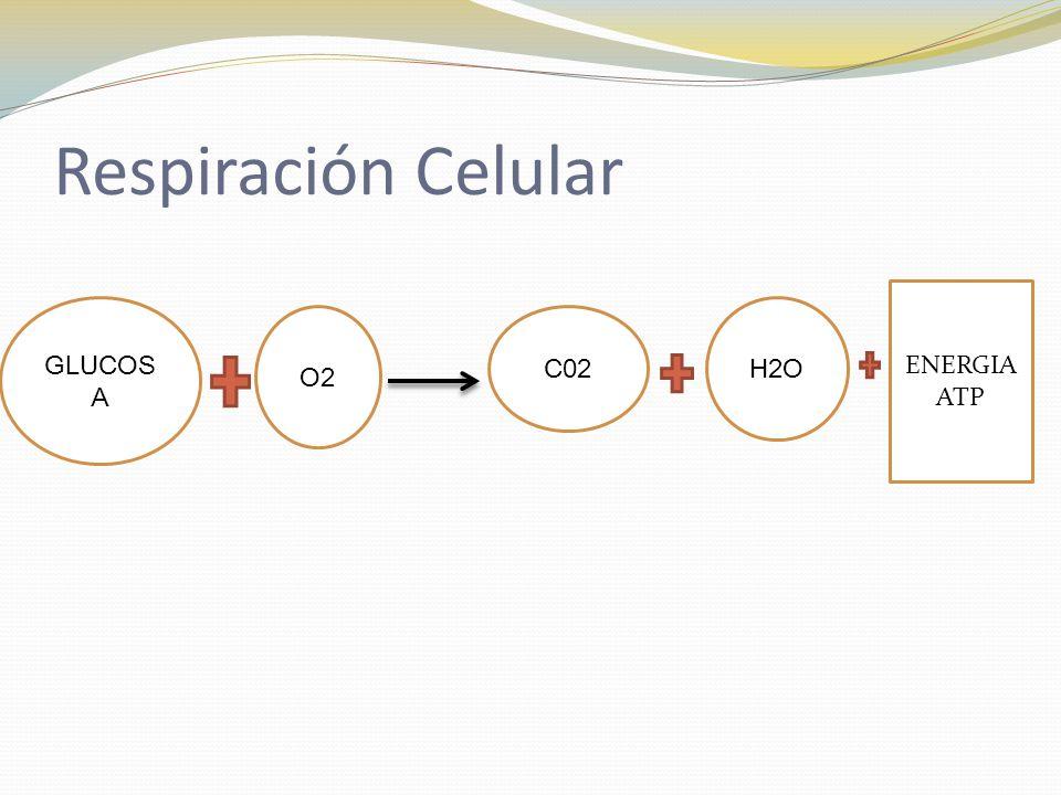 Respiración Celular ENERGIA ATP GLUCOSA H2O O2 C02