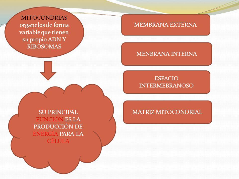 ESPACIO INTERMEBRANOSO