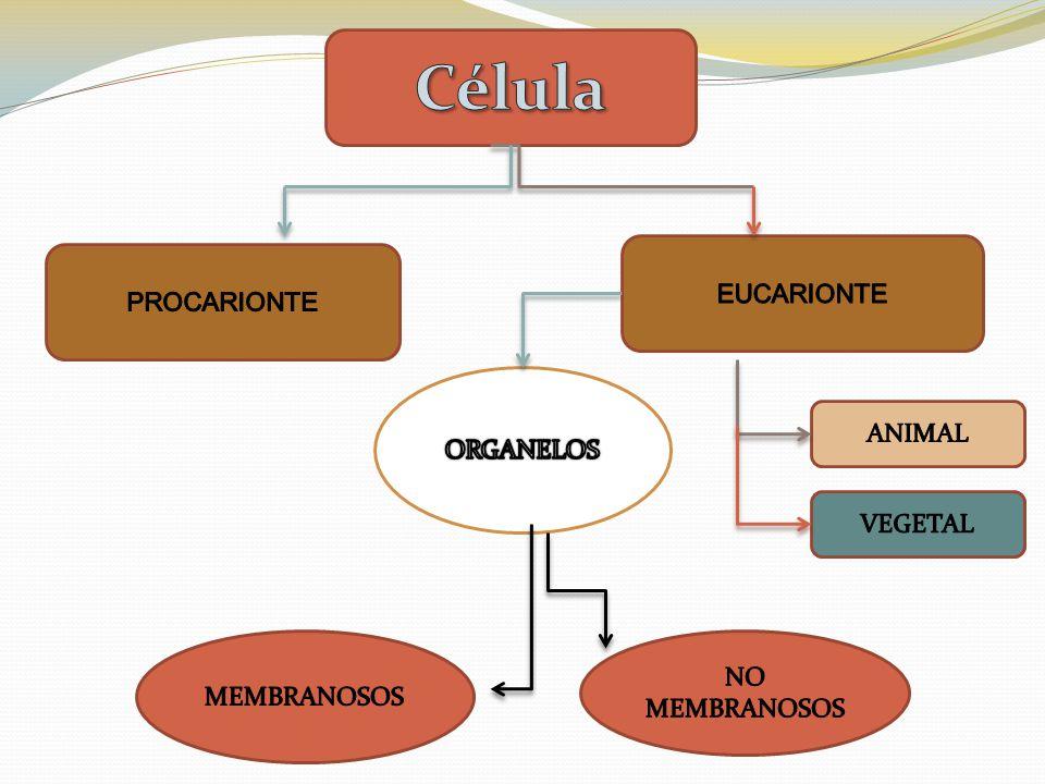 Célula EUCARIONTE PROCARIONTE ORGANELOS ANIMAL VEGETAL NO MEMBRANOSOS