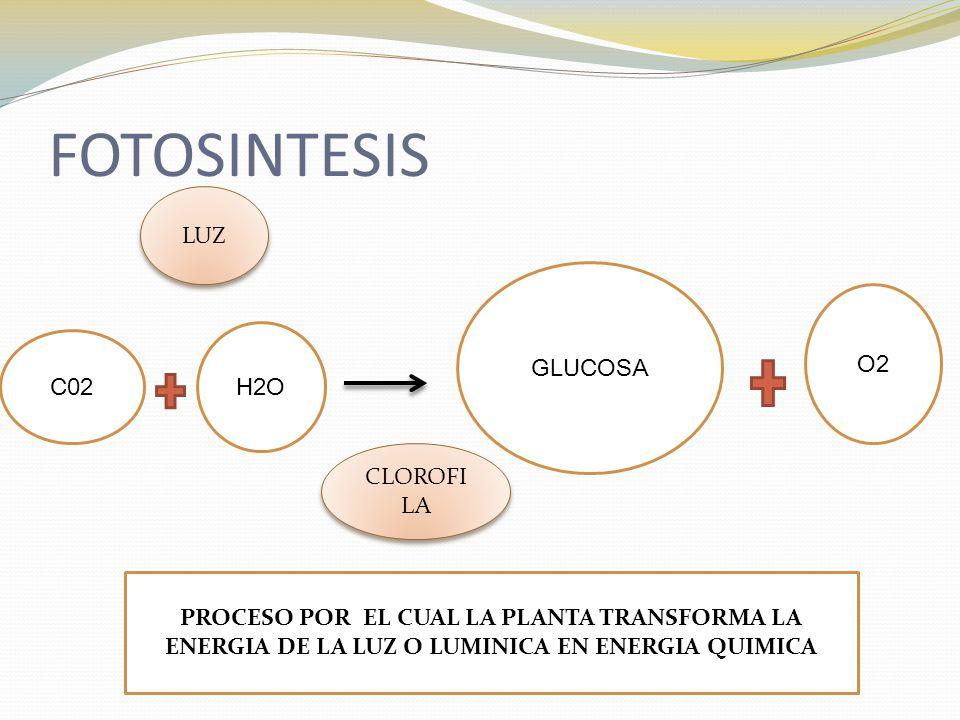 FOTOSINTESIS LUZ GLUCOSA O2 H2O C02 CLOROFILA