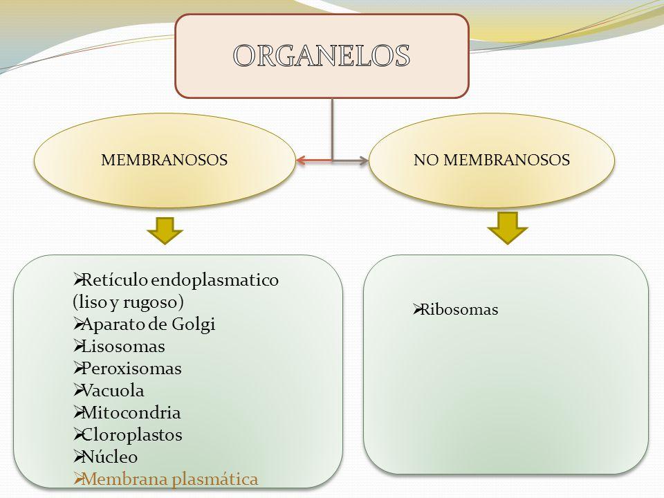 ORGANELOS Retículo endoplasmatico (liso y rugoso) Aparato de Golgi