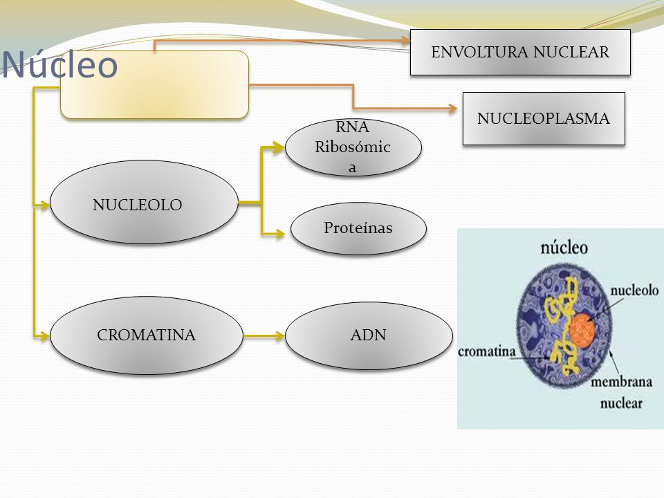 Núcleo ENVOLTURA NUCLEAR NUCLEOPLASMA RNA Ribosómica NUCLEOLO