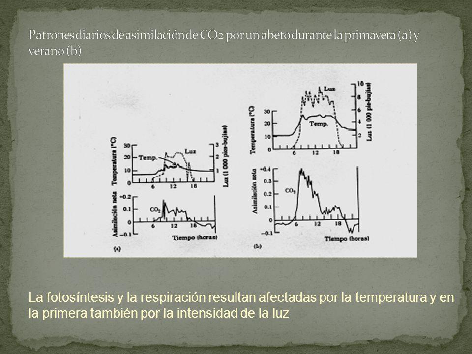 Patrones diarios de asimilación de CO2 por un abeto durante la primavera (a) y verano (b)