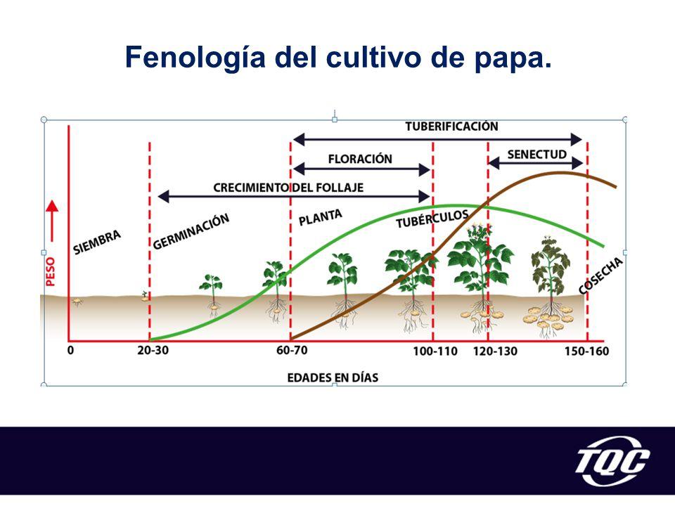 Fenología del cultivo de papa.