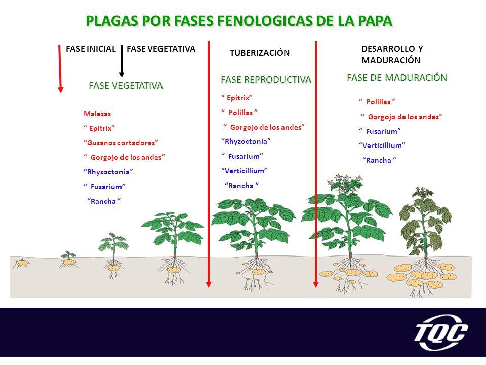 PLAGAS POR FASES FENOLOGICAS DE LA PAPA