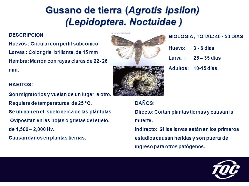 Gusano de tierra (Agrotis ipsilon) (Lepidoptera. Noctuidae )