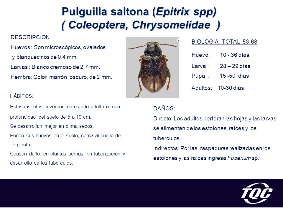 Pulguilla saltona (Epitrix spp) ( Coleoptera, Chrysomelidae )