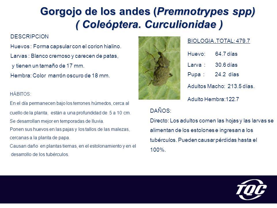 Gorgojo de los andes (Premnotrypes spp) ( Coleóptera. Curculionidae )